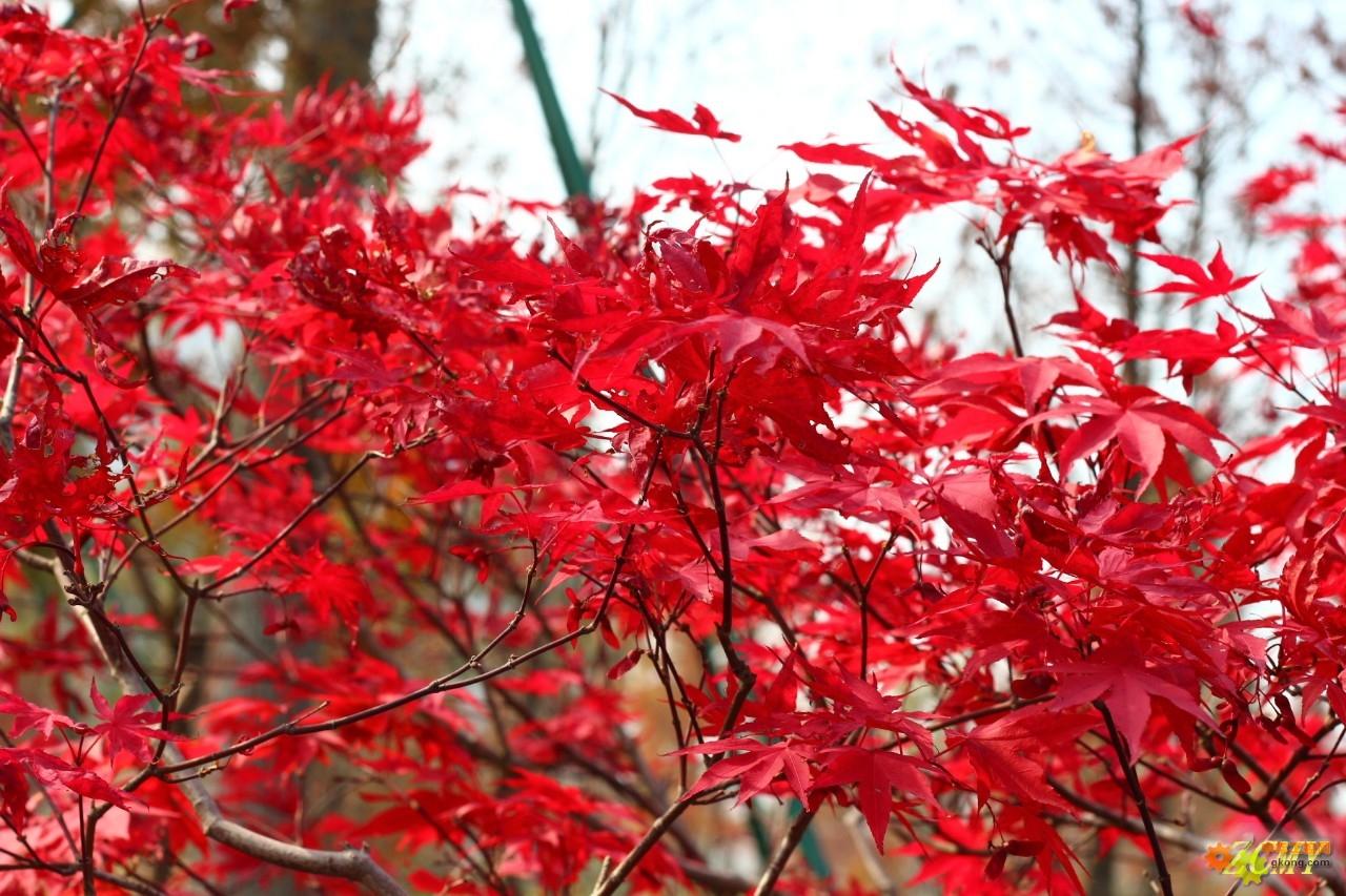 枫叶戏红霞