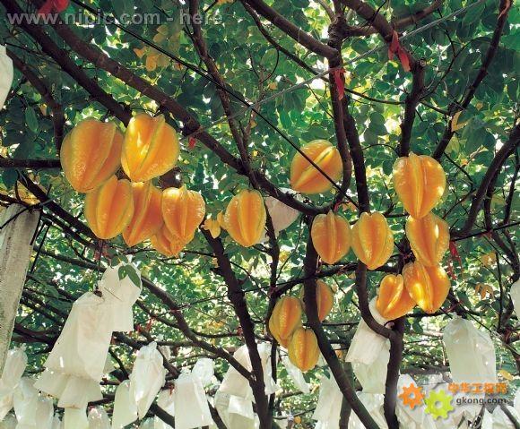 原来杨桃树长这个样子的